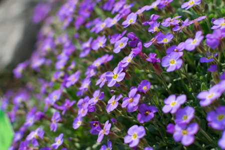 Many violet flowers of aubrieta deltoidea. Aubretia Dr. Mules blue flower in spring garden close up with bokeh
