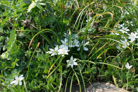 Ornithogalum umbellatum, garden star-of-Bethlehem, grass lily, nap-at-noon or eleven-oclock lady flowers. Small white flower with selective focus and bokeh 스톡 콘텐츠