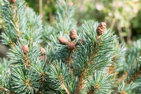 Verschwommenes Makrofoto von dekorativer Gartenfichte oder Kiefer mit selektivem Fokus. Schöne grüne Zierpflanze mit langen Nadeln hautnah Standard-Bild