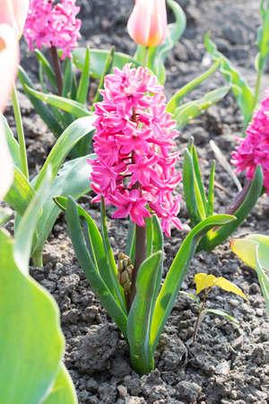 Pink rose hyacinth flower or hyacinthus in spring garden close up. Flowering magenta fragrant hyacinths