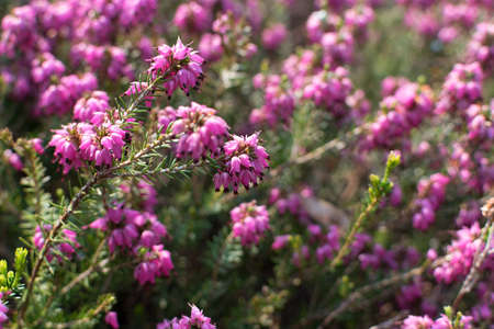Erica Carnea or Myretoun Ruby pink flowers in spring garden close up with selective focus