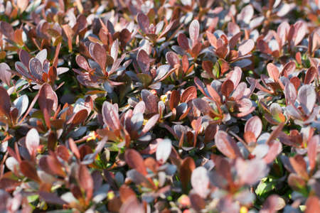 Red leaves of berberis thunbergii, Crimson Pygmy or Japanese barberry in spring garden. Thunbergs barberry or red barberry leaf pattern background