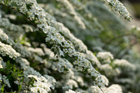Natural pattern with white Spiraea Thunbergii bush or Thunberg Meadowsweet flowers close up selective focus 스톡 콘텐츠