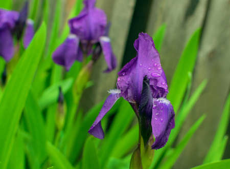 Macro photo of violet and blue iris flowers closeup. Group of irises in green garden on grey fence blurred background