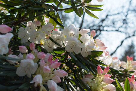 Flowering bushes with white and pink rhododendron pseudochrysanthum flowers in spring garden close up