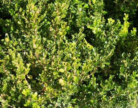 Blurred macro photo of decorative garden buxus sempervirens, box or boxwood with selective focus. Beautiful ornamental plant with lush green foliage