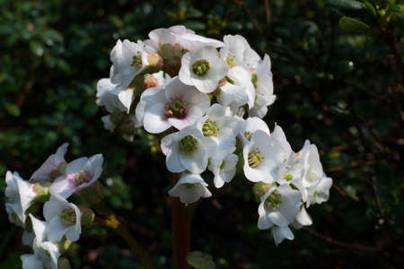 Bergenia, bergenia cordifolia, elephant-eared saxifrage or elephants ears white spring flowers. Flowering plants in the family Saxifragaceae