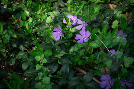 Blue botanical periwinkle plant or vinca minor flowers in spring garden close up