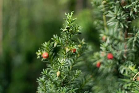 Blurred macro photo of decorative garden Taxus baccata or European Yew with selective focus. Beautiful evergreen ornamental plant with needles and red berries close up