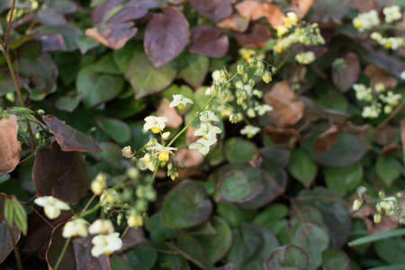 Small flowers of epimedium sagittatum, barrenwort, bishops hat, fairy wings or horny goat weed close up. Traditional chinese herb epimedium with yellow and white flowers
