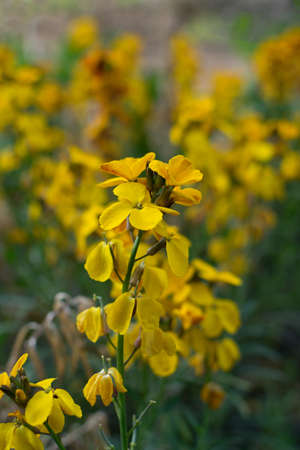 Erysimum cheiri flowers, Cheiranthus cheiri or wallflower in spring garden on blurred background. Yellow Goldlack flower with bokeh