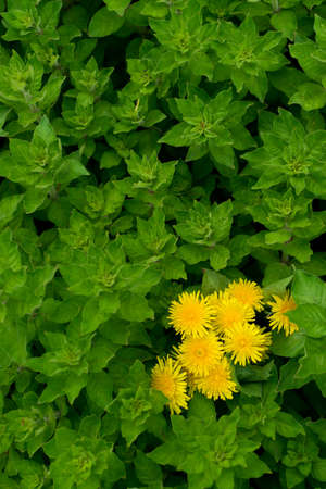 Green lush leaf background with yellow dandelion flowers, natural leaves plant pattern or texture top view