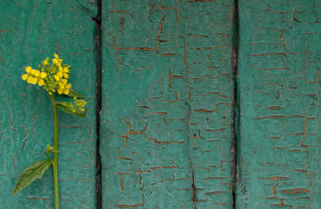 Wild rapeseed flower also known as rape or oilseed rape on grunge wooden background with place for text 스톡 콘텐츠