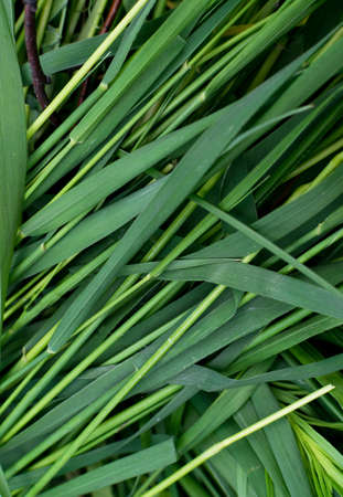 Long green grass striped background, natural leaves plant pattern or texture top view