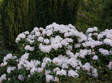 Flowering bushes with light Rhododendron gentle flowers in spring garden close up