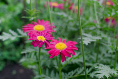 Dark pink flowers of argyranthemum, marguerite, marguerite daisy or dill daisies in summer garden close up with selective focus. Macro photo of pink peacock chamomiles on green blurred background 스톡 콘텐츠