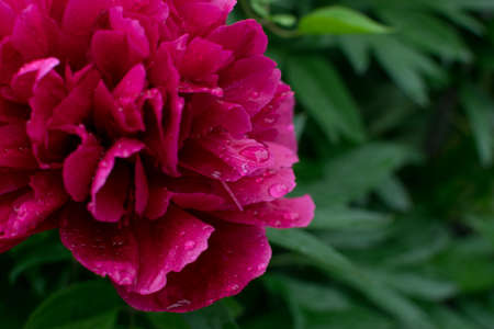 Dark pink peacock color peony or jester red paeony flowers with buds and leaves in summer garden close up with selective focus. Macro photo of burgundy peonies on green leaves blurred background