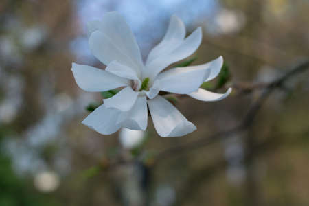 Flowering magnolia kobus tree with big white flowers. Beautiful blooming spring garden Banco de Imagens