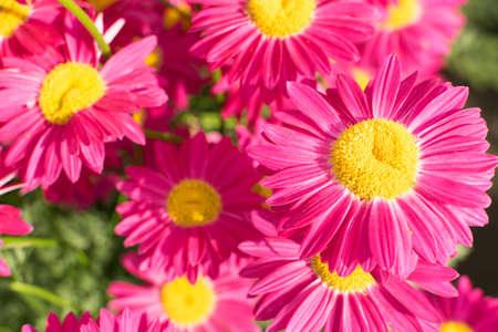 Dark pink flowers of argyranthemum, marguerite, marguerite daisy or dill daisies in summer garden close up with selective focus. Macro photo of pink peacock chamomiles on green blurred background Banco de Imagens