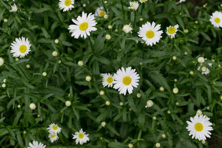 White garden chamomile in summer garden close up with selective focus. Macro photo of chamomiles on green blurred background Banco de Imagens