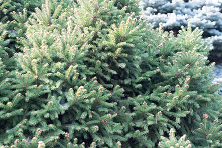 Decorative spruce branches natural pattern close-up. Lush evergreen Christmas tree texture background