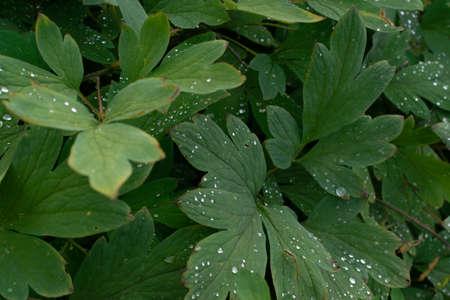 Macro shot of rain drops on green leaves. Dew drop on a plant leaf