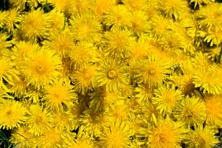 Dandelion flower natural yellow pattern or texture close up. Spring sunny background with yellow flowers and leaves top view