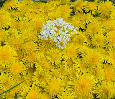 Dandelion flower natural yellow pattern or texture close up. Spring sunny background with wild yellow and white flowers and leaves top view