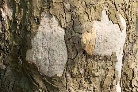 Platanus acerifolia, London plane, London planetree, Platanus hispanica or hybrid plane bark texture close up