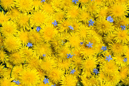 Dandelion flower natural yellow pattern or texture with blue forget-me-nots Myosotis blossoms close up. Spring sunny floral background with yellow flowers and leaves top view
