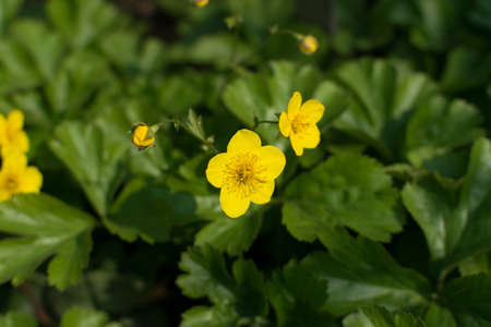 Small yellow flowers of Appalachian barren strawberry or Waldsteinia ternata in spring garden