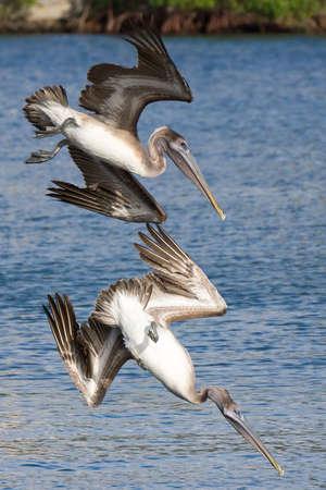Brown Pelicans hunting fish in Sarasota bay, Florida