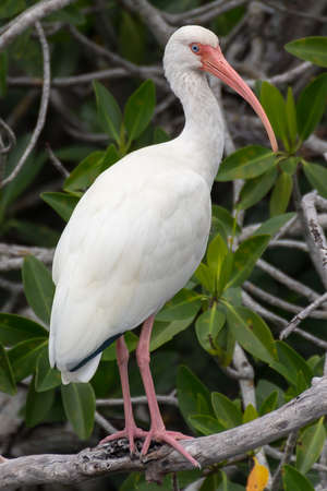 Everglades national park: White ibis in Everglades National Park, Florida