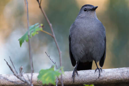 catbird: Gray Catbird in Corkscrew Sanctuary, Florida
