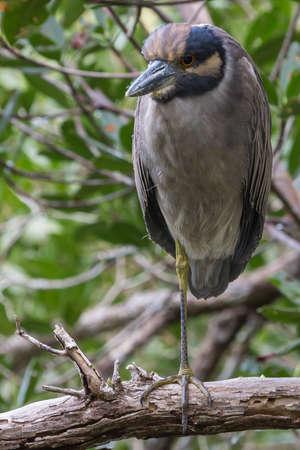 Black-crowned Night Heron having a rest on Indigo trail, JN (Ding) Darling National Wildlife Refuge, Sanibel island, Florida