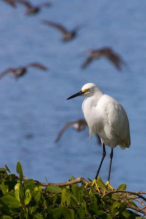 White heron on Indigo trail, JN (Ding) Darling National Wildlife Refuge, Sanibel island, Florida