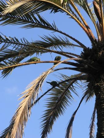 loros verdes: Tres loros verdes sentado en una palmera Foto de archivo