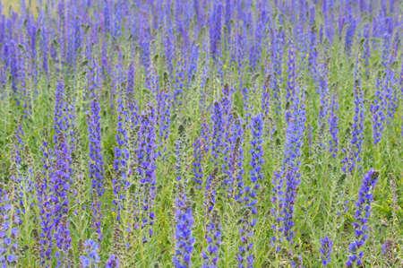 echium: Vipers Bugloss or Blueweed Echium vulgare field.  Blue blooming flower field, natural environment.