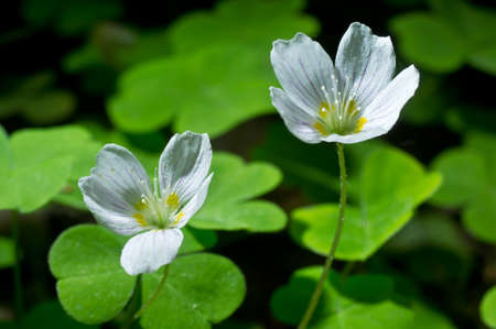 sorrel: Common wood sorrel white flowers - Oxalis acetosella