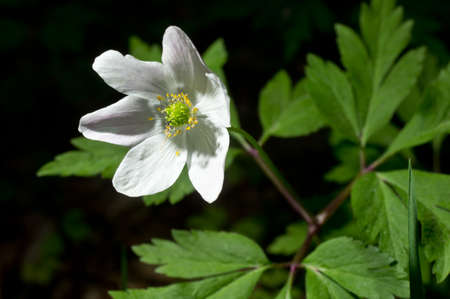windflower: White blooming flower in natural environment. Anemone nemorosa, in English wood anemone, windflower, thimbleweed, and smell fox.