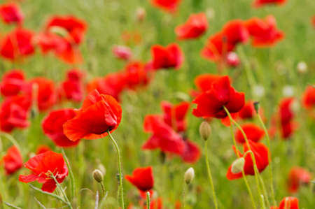 dubium: Red long-headed poppy field, blindeyes, Papaver dubium. Blooming flower in a natural environment