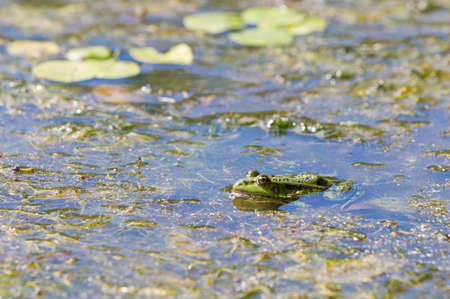 lessonae: Edible frog, common water frog or green frog -  Pelophylax esculentus or Pelophylax kl. esculentus Stock Photo