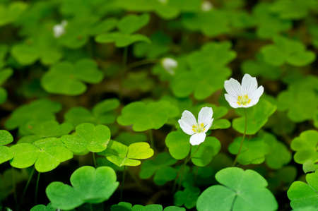 wood sorrel: Common wood sorrel blossom and leaves are edible - Oxalis acetosella