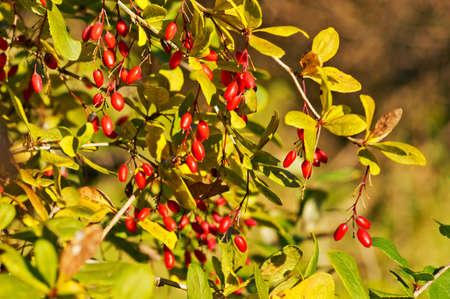 barberry: Edible red berries branch. European barberry or simply Barberry - Berberis vulgaris