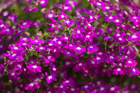 lobelia: Purple lobelia Lobelia inflata, also called Indian tobacco