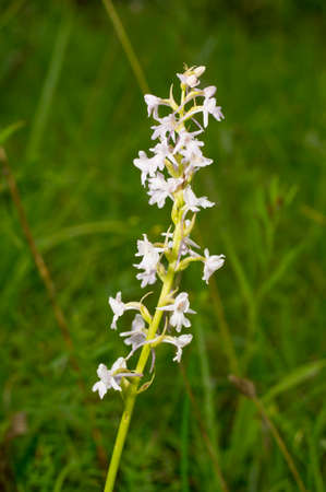white blossom: Fragrant orchid, is a herbaceous plant,  family Orchidaceae - Gymnadenia conopsea. Orchid plant white blossom. Beautiful flower blooms in a natural environment. Stock Photo