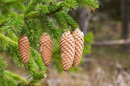 spruce tree: Spruce tree branch with fir cones