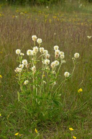 trifolium: White blossom of mountain clover. Blooming flower bush in a natural environment. Trifolium montanum Stock Photo