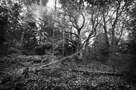 black forest: Old linden forest, black and white
