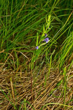 skullcap: Scutellaria galericulata, common skullcap, marsh skullcap or hooded skullcap. Blue blooming flower in natural environment.